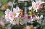 anh dao cherry blossom (3)