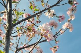 anh dao cherry blossom (9)