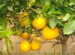 Lemon - Chanh vàng