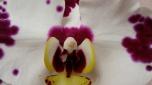 Lan Hồ Điệp - Phalaenopsis